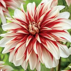 Consider dahlia bulbs to deliver summertime color and style. Dahlias come in a range of hues and forms. Plant dahlia tubers in sunny areas for best results. Rare Flowers, Bulb Flowers, Exotic Flowers, Beautiful Flowers, Summer Plants, Summer Flowers, Catching Fire, Plants Online, Exotic Plants