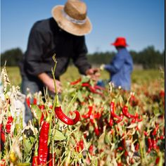 Spanish Pimenton de La Vera peppers harvest #spanish #food #pimenton