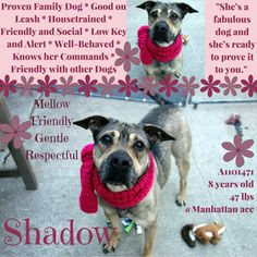 SHADOW – A1101471 Very sad good girl lost her home due to eviction of owner and soon is on death list! If you would like to foster or adopt and can't make it to the shelter, please write an email NOW to the Urgent Help Desk at Helpdogs@Urgentpodr.org Their experienced volunteers will assist you one-on-one with rescues and the application process. Transport can be arranged by rescues to the homes of approved fosters or adopters within 3-4 hours of New York Cit