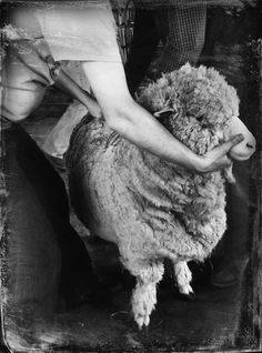 Merino sheep ready for shearing