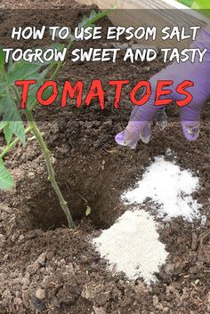 Tips For Potted Plants Gardening Tips September Uk underneath Gardening Tips For April Australia its Square Foot Gardening Tips And Tricks. Gardening Tips For Texas Growing Tomatoes In Containers, Growing Veggies, Growing Plants, Grow Tomatoes, How To Plant Tomatoes, Tomato Plant Food, Baby Tomatoes, Greenhouse Tomatoes, Mini Greenhouse