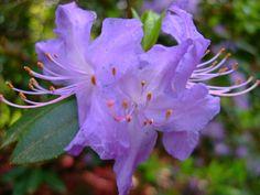 https://flic.kr/p/Dkqs2e | Rhododendron | www.youtube.com/user/yewmchan/videos