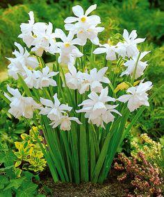 Narsiss 'Thalia' løk - hvite påskeliljer, små.