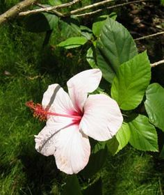 Hibiscus rosa-sinensis   - Hibiscus Rosa Sinensis, Hawaiian, Rose, Plants, Pink, Roses, Planters, Plant, Planting