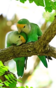 Peach-faced love birds by Brad Pedersen