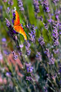 Always am growing lavendar -it attracts butterflies!