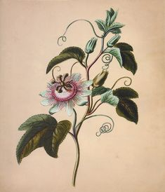Passiflora by Georg Dionysius Ehret, 1773. Engraved | from The Golden Age of Botanical Art by Martyn Rix
