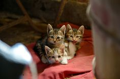 """""""Once upon a time there were 3 little kittens and their names were Mittens, Tom Kitten and Moppet.  They each had dear little fur coats of their own and tumbled by the door step and played in the dust."""" --Beatrix Potter (""""The Tale of Tom Kitten"""")"""