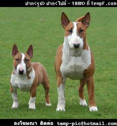 Bull terrier- The difference between a standard and a mini.