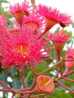 Eucalyptus Flower by darlene