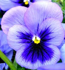 Image result for blue pansy flower
