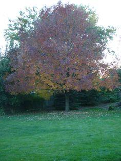 Ash tree in my back yard~