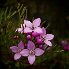 Google Image Result for http://www.blogrollcenter.com/news/gallery/gardening/boronia-flower.jpg