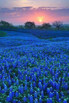 Bluebonnet Field in Ellis County, Texas nature eco beautiful places landscape travel natura peisaj Beautiful Landscapes, Beautiful Images, Beautiful Flowers, Beautiful Sunset, Beautiful World, Beautiful Scenery, Beautiful Castles, Beautiful Sites, Beautiful Beautiful