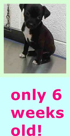 PETUNIA (A1672710) I am a female black and white Terrier. The shelter staff think I am about 6 weeks old. I was found as a stray and I may be available for adoption on 01/14/2015. — hier: Miami Dade County Animal Services. https://www.facebook.com/urgentdogsofmiami/photos/pb.191859757515102.-2207520000.1421187776./910402225660848/?type=3&theater