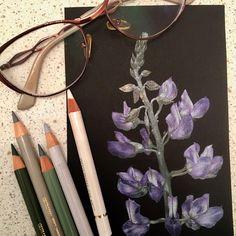 Люпин/Lupin  Иллюстрация цветными карандашами на черной бумаге Colored pencils illustration on black paper