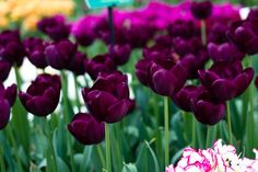 Pretty Dark Tulips