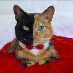 Venus , l'incredibile bellezza della gatta a due facce  (fb Venus's Page)