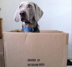 Weimaraner sitting in a cardboard box for the Get A Weimaraner DogBuddy Blog Post