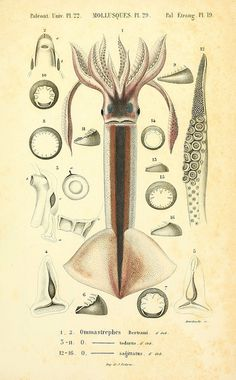 Mollusques vivants et fossiles. Atlas. Paris :Gide et Cie., éditeurs,1845. biodiversitylibrary.org/page/14495682