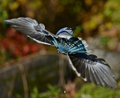 Learn all you wanted to know about blue jays with pictures, videos, photos, facts, and news from National Geographic.
