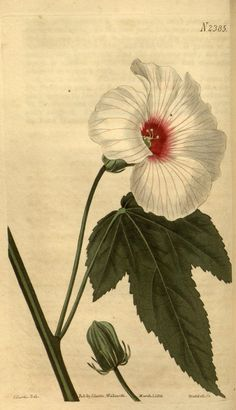 92 best hibiscus images on pinterest botany hibiscus and the biodiversity heritage library works collaboratively to make biodiversity literature openly available to the world as part of a global biodiversity ccuart Gallery
