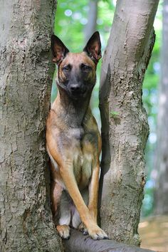 Belgian Malinois dog art portraits, photographs, information and just plain fun. Also see how artist Kline draws his dog art from only words at drawDOGS.com #drawDOGS http://drawdogs.com/product/dog-art/belgian-malinois-dog-portrait-by-stephen-kline/