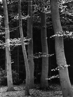 Beech Forest Photographic Print by Brett Weston at Art.com