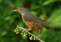 Pássaros: Pássaros Diversos 02