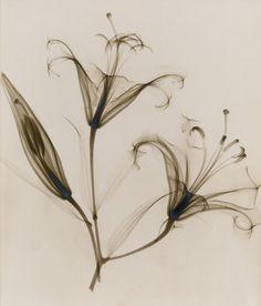 Photographies aux Rayons des Années 1930 de Détails délicats de Fleurs (4)