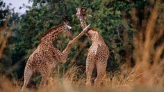 Clowning around To get up close and personal with the animals, join a walking safari in South Luangwa National Park, where the walking safar...