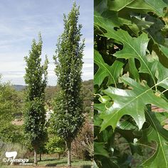 Quercus palustris 'Pringreen' Green Pillar