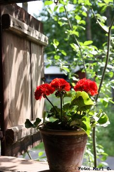 My favorite... red geraniums in a clay pot. Simple and beautiful.