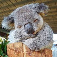 Seekor individu Koala sedang rehat siang di Port Macquarie Koala Hospital New South Wales Australia. Koala A Koala individual is taking a break in Port Macquarie Koala Hospital New South Wales Australia. Koala Repost Photo by Cute Funny Animals, Cute Baby Animals, Animals And Pets, Exotic Animals, Happy Animals, Wild Animals, Australian Animals, Cute Animal Pictures, Cute Creatures