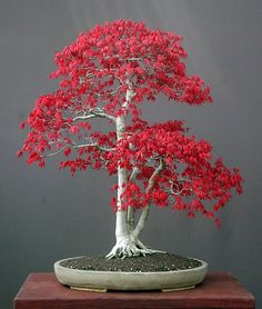 The Japanese Maple bonsai tree, acer palmatum is the plants scientific name, is a beautiful white bonsai tree with pink flowers. This is one of the coolest bonsai trees ever known to man. Red Maple Bonsai, Japanese Maple Bonsai, Japanese Red Maple, Maple Tree, Japenese Maple, Amur Maple, Japanese Modern, Bonsai Seeds, Horticulture