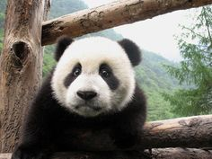 Go see pandas in Chengdu.  Make this little panda smile to see you.