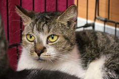 Meet Pooh Bear, an adopted Domestic Short Hair Mix Cat, from Cape Ann Animal Aid in Gloucester, MA on Petfinder. Learn more about Pooh Bear today. Short Hair Cats, Pooh Bear, Gloucester, New Friends, Adoption, Honey, Meet, Animals, Animales
