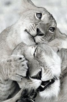 Sweet Lion - love ❥ Biggers thanks for sharing! moved pin to animal lover in me Animals And Pets, Baby Animals, Funny Animals, Cute Animals, Wild Animals, Beautiful Cats, Animals Beautiful, Majestic Animals, Big Cats