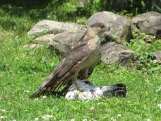 A Cooper's Hawk with it's prey under his sharp talons.  The prey is a pigeon.