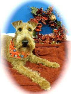 Merry Irish Terrier Christmas Luv Cap'n Jack