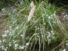 Susuki (japanese name) /  Miscanthus sinensis var. sinensis (scientific name)