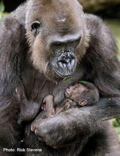 beautiful new baby Gorilla