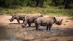 Rhinos - Odd one out