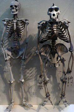 A human skeleton compared to a gorilla skeleton