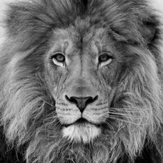 Painting black and white lion ideas Lion Pictures, Animal Pictures, Beautiful Cats, Animals Beautiful, Lion Tigre, Animals And Pets, Cute Animals, Black And White Lion, Lion Love