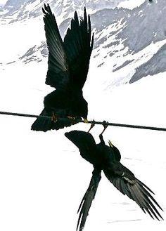 Bildergebnis für fighting ravens