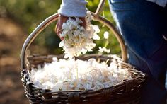 A guide to the Grasse Jasmine Festival, on the French Riviera, including   information on museums, hotels, and restaurants