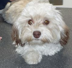 This is a chocolate havanese. She has the chocolate pigment and some chocolate inher coat.