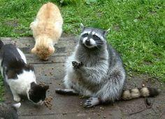 Raccoon loves cat food too!