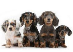 17 Fantastiche Immagini Su Cani Dachshund Dog Weenie Dogs E